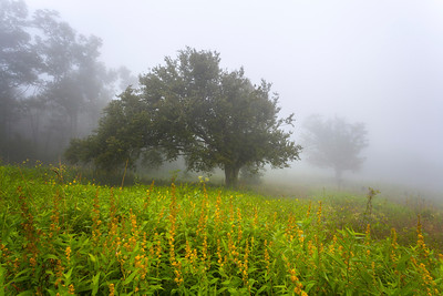 Goldenrod in the Fog