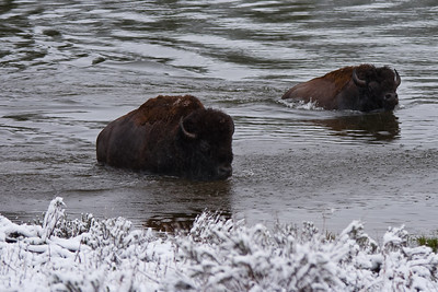 Buffalo Crossing Yellowstone River