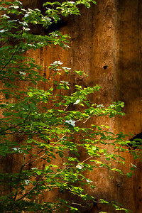 Pacific Dogwood and Giant Sequoia
