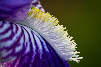 Iris Mohawk
