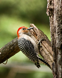 Dowey Woodpecker