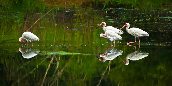 Ibis Outcast. Pinckney National Wildlife Refuge, SC