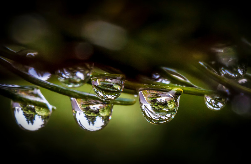 Pine Drops<br /> Olympic National Park