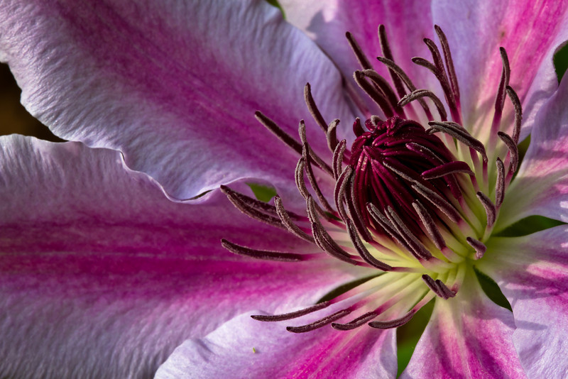 Good Morning<br /> Clematis