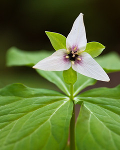 Painted Trillium Pisgah National Forest, NC