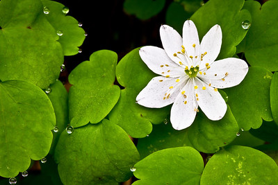 Rue Anemone and Dewdrops
