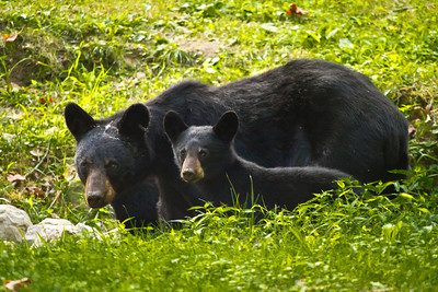 Mom and Cub Black Bears on Cades Cove Loop.