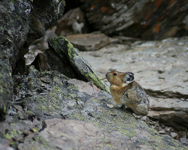 Pika Alpine Trail above Lake O'Hara Yoho National Park