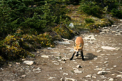 Goldie The Red Tailed Fox on Bald Hills Jasper National Park