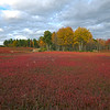 Sea of Red near Cherryfield ME