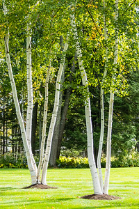 Dillingham Point Birches