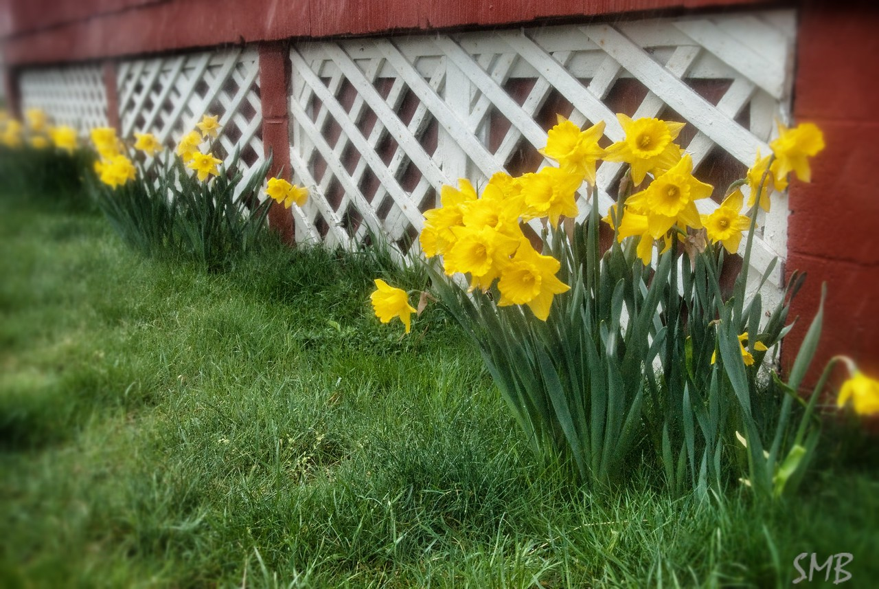 daffodils in the rain<br /> <br /> Camp Ellis, Maine