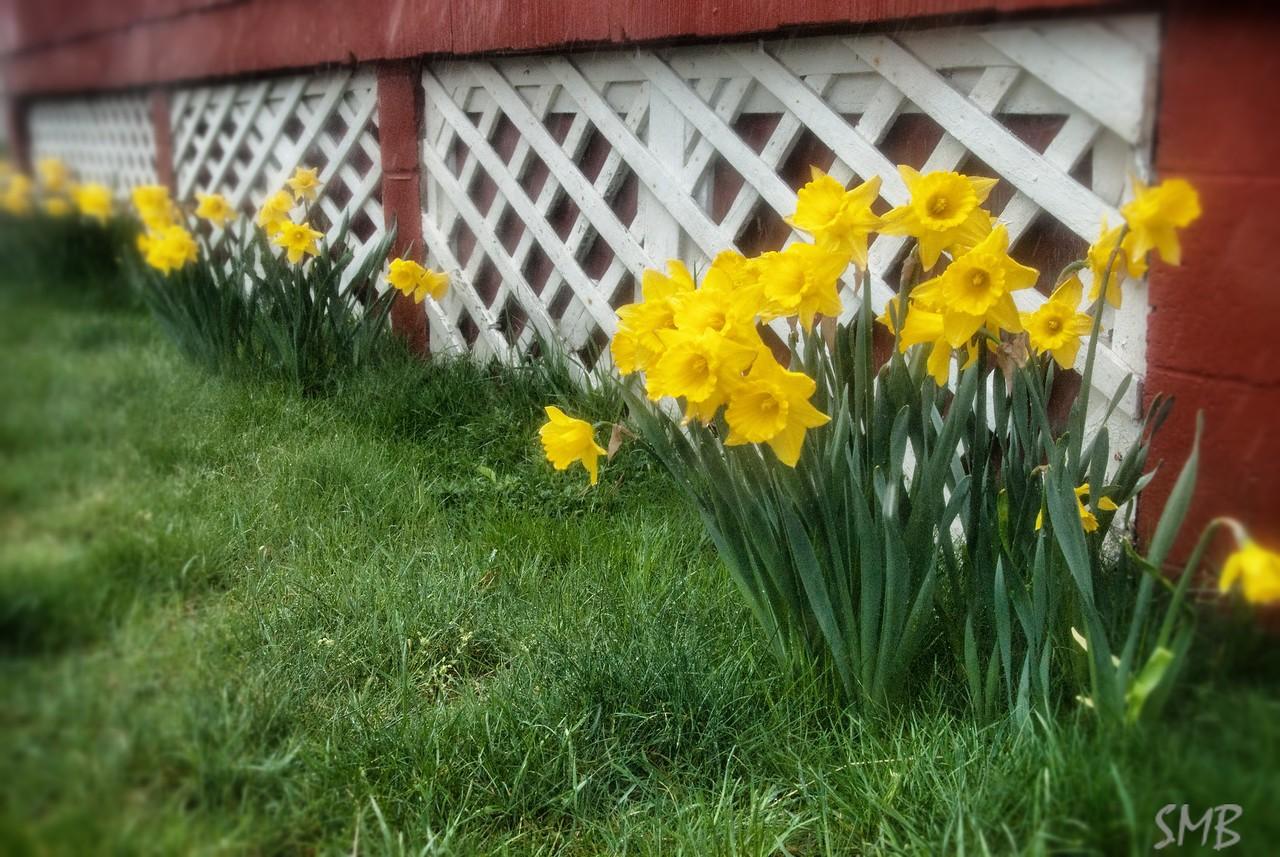 daffodils in the rain<br /> <br /> Camp Ellis, Maine