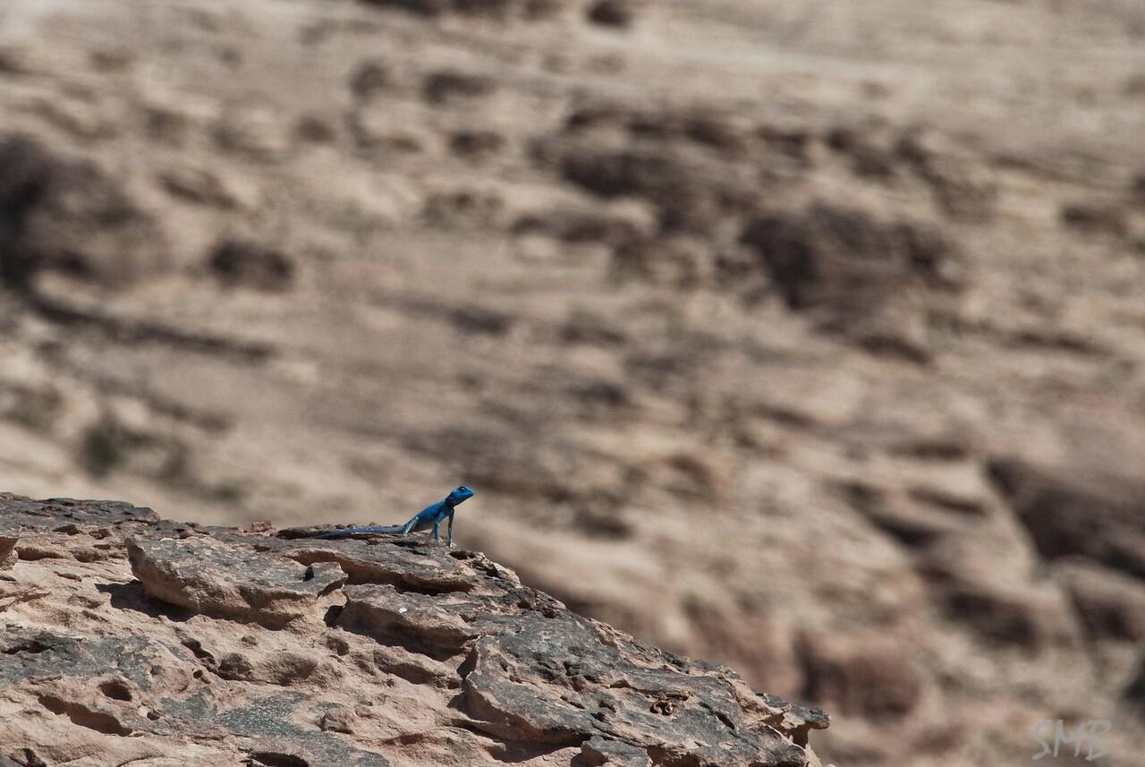 a blue lizard!<br /> Petra, Jordan