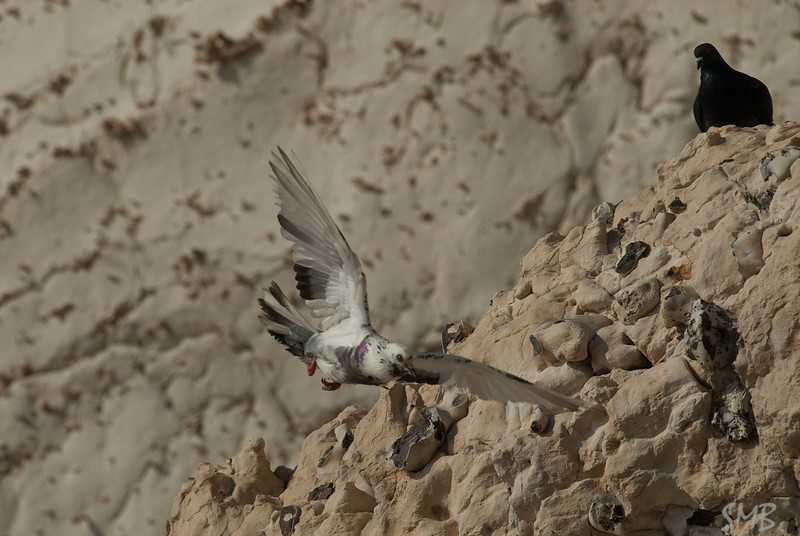 Rock Pigeons<br /> Rosh HaNikra, Israel