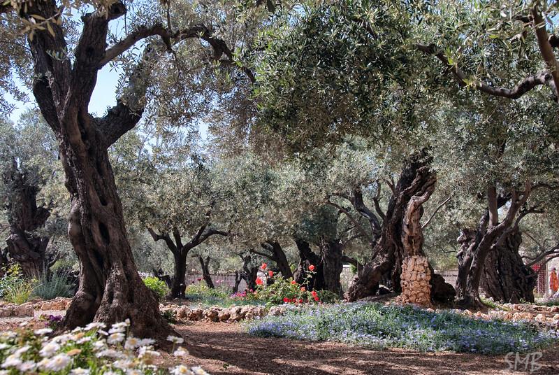 Ancient olive trees in the Garden of Gethsemane<br /> Jerusalem, Israel