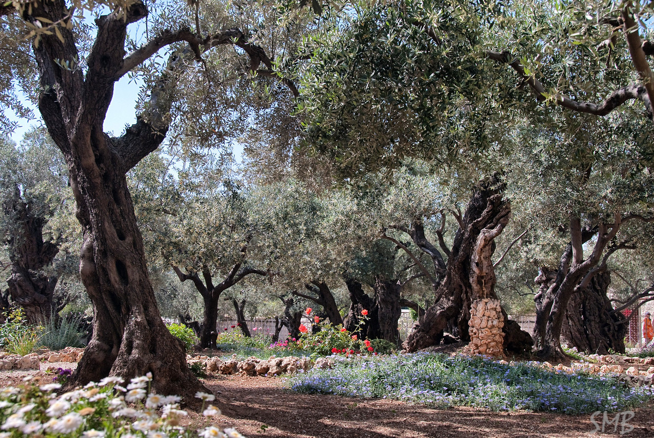 Ancient olive trees in the Garden of Gethsemane<br /> Jerusalem, Israel