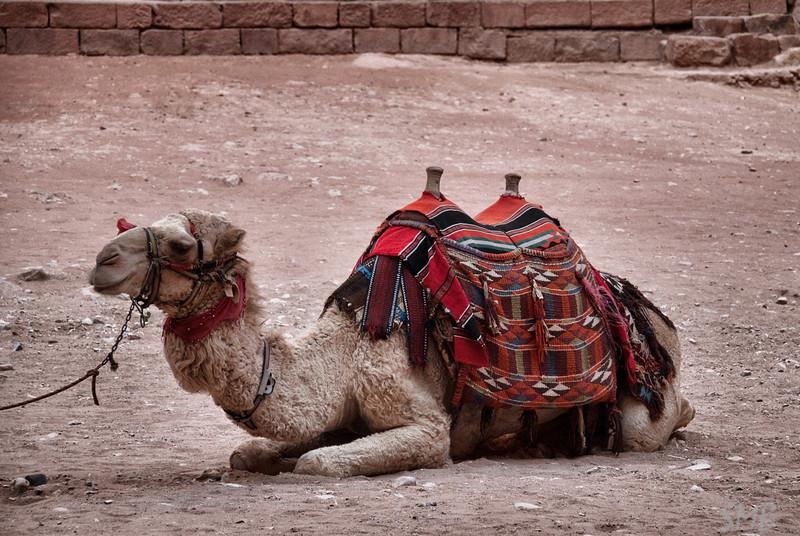 Camel!!!<br /> Petra, Jordan