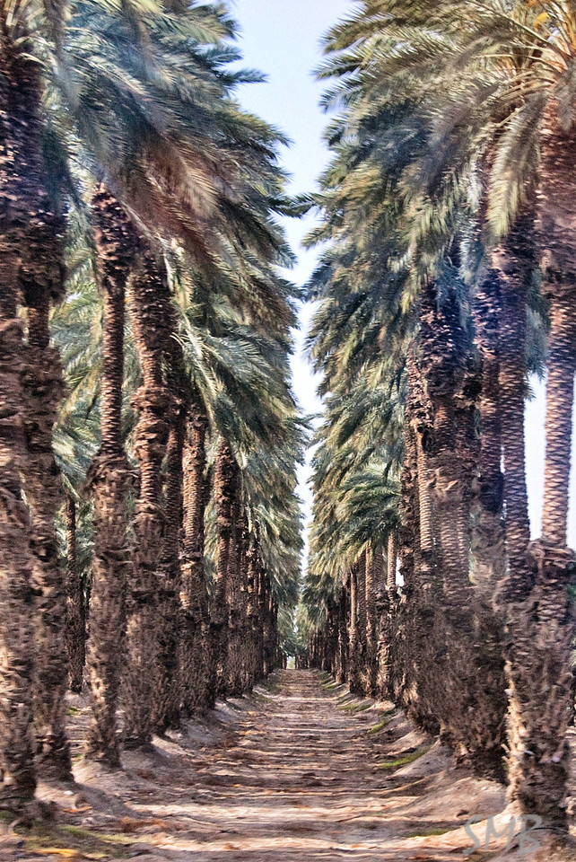 palm trees<br /> <br /> driving back from the Dead Sea to Tel Aviv