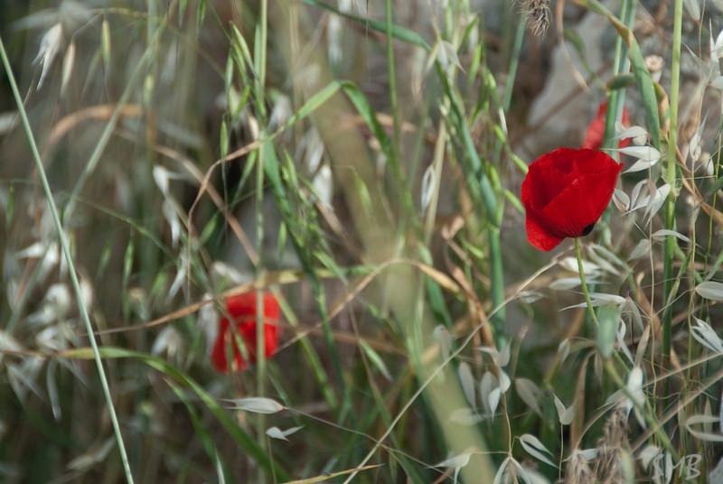 poppies<br /> <br /> Bethlehem, Palestine
