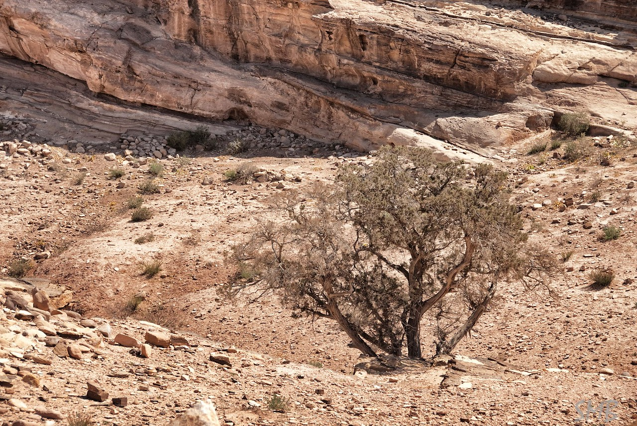 tree in the desert<br /> Petra, Jordan