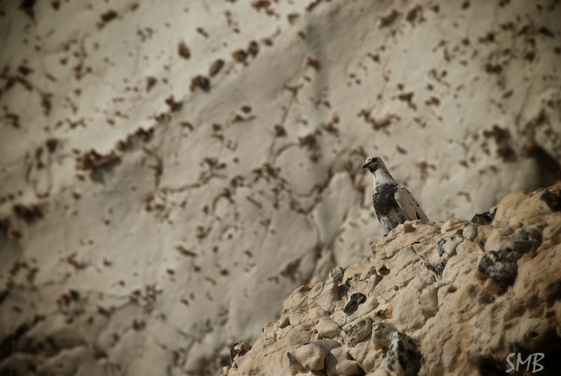 Great camouflage for a rock pigeon on a chalk cliff<br /> Rosh HaNikra, Israel