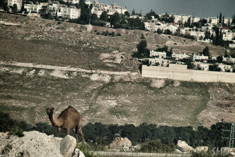 camel and a city<br /> <br /> Israel