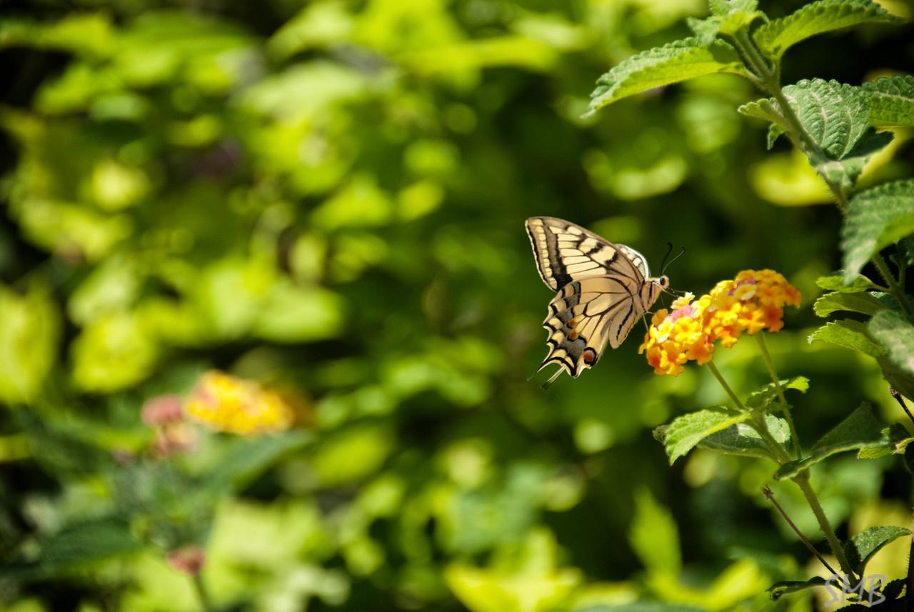 butterfly<br /> <br /> Latroun, Israel