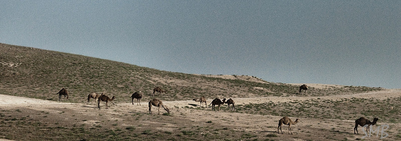 a herd o camels<br /> <br /> driving back from the Dead Sea to Tel Aviv