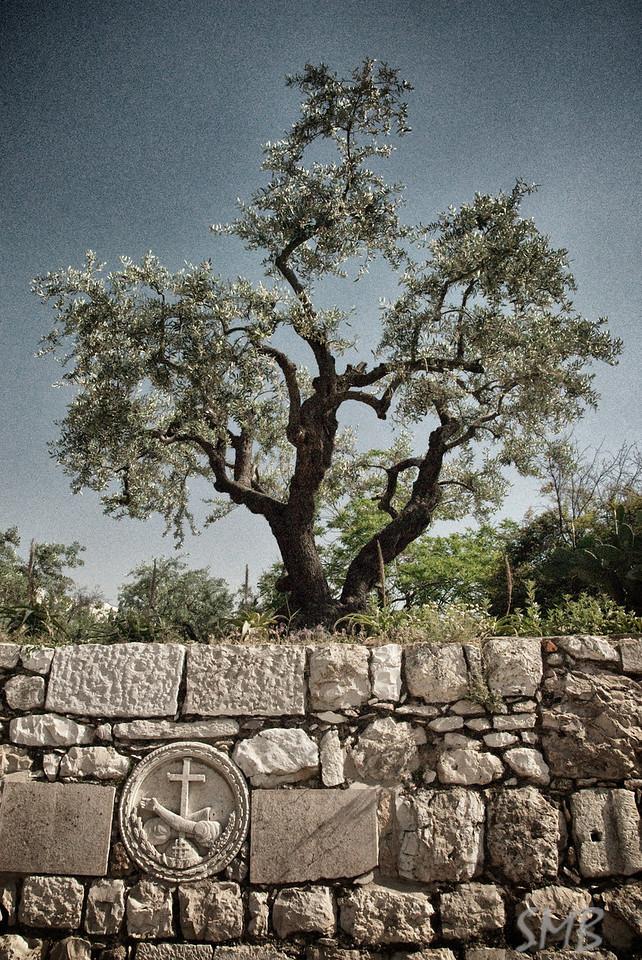 Olive tree<br /> Jerusalem, Israel
