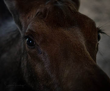 Moose juvenile