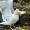 Herring Gull with Alewife