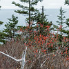 Winterberry along Ocean Path