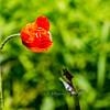 1st Poppy