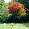 Tree in Ned Motley's field<br /><br />foliage fall scenery