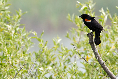 RedWingBlackbird C6020