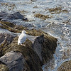 Seagull at Fort McClary
