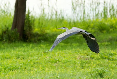 GBH flying C8916