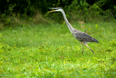 GBH mouth C8969