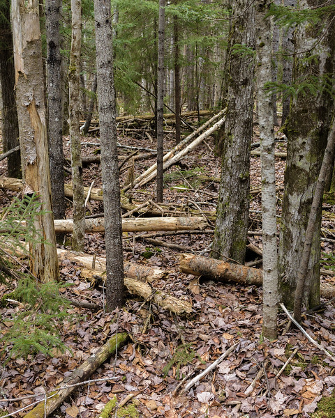 This is a typical view of the forest floor.  Down trees, leaners, and standing deadwood in a spruce and birch forest.