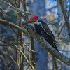There area quite a few pileated woodpeckers around.  Their distinctive oval and nearly retangular holes can be seen in dead trees.