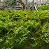 A field of fern
