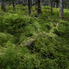 In summer the forest floor is a sea of various types of mosses and ferns covering the older downed logs.