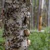 Several varieties of birch grow in the wetland woods