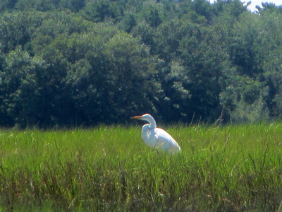 GreatEgret 3411