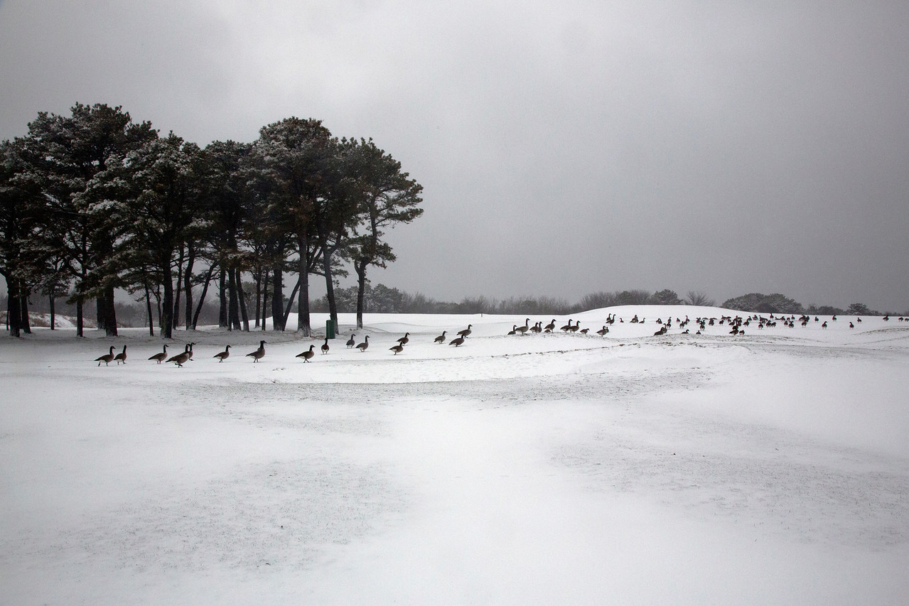 Geese snow C4251