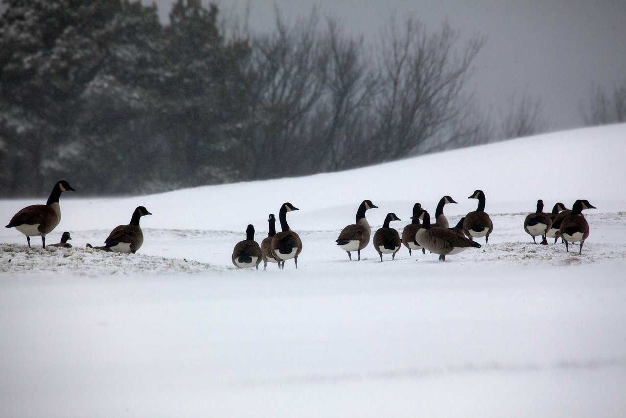 geese 8752