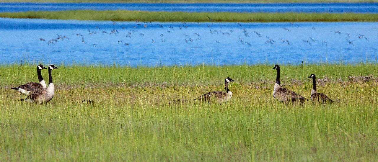 Geese flock C7533