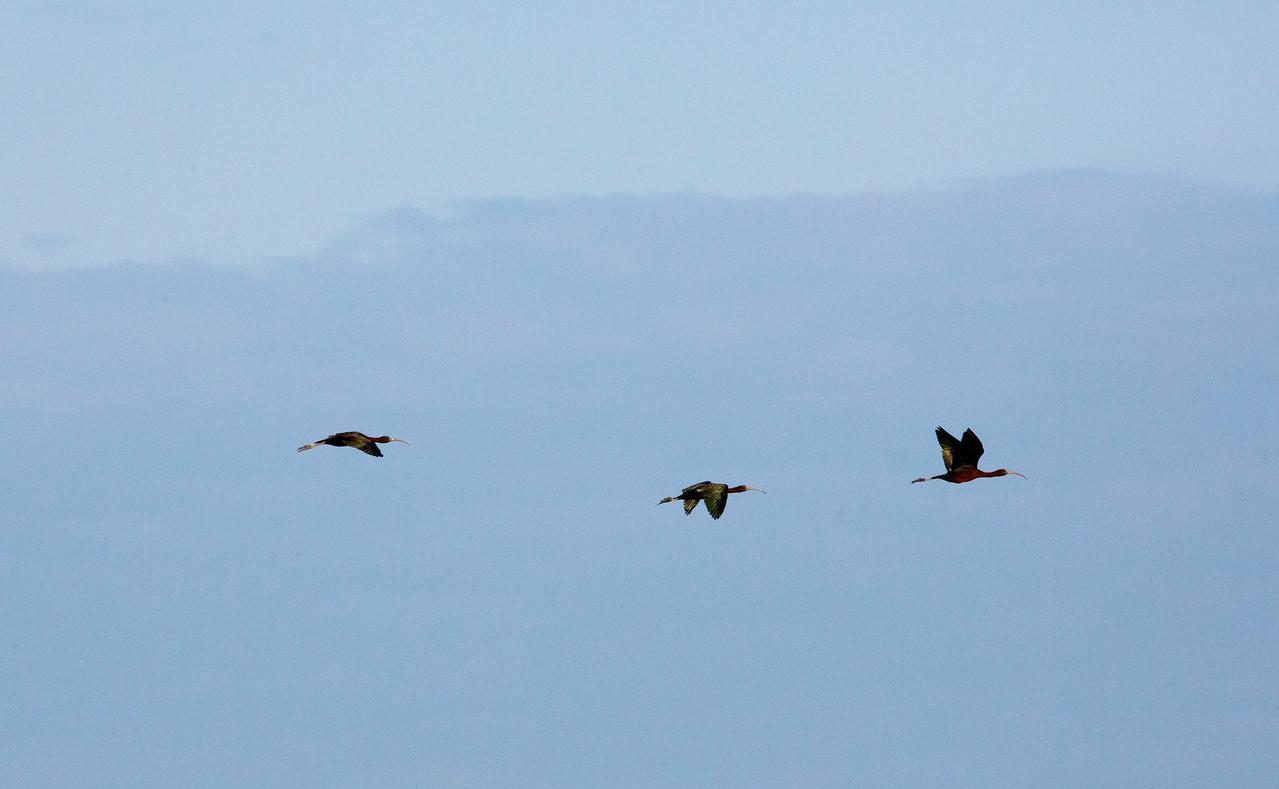 3birds beaks C6729