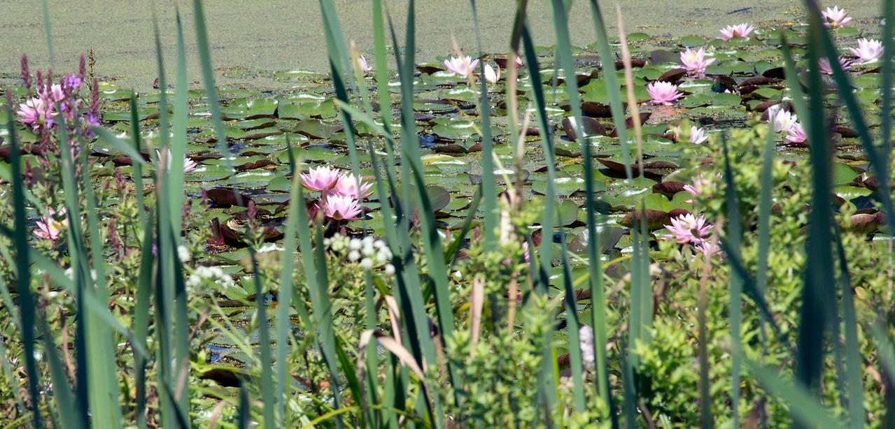 Pond flowers C7406